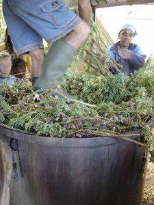 Cuite geranium distillation