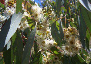 eucalyptus fleur