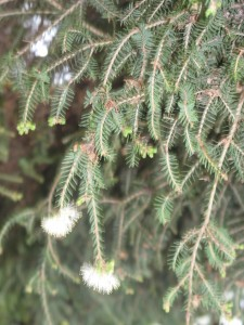 Melaleuca_alternifolia_fleurs