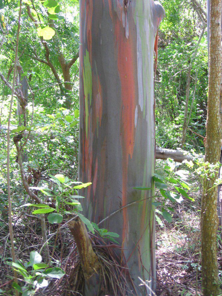 huile essentielle d 39 eucalyptus radi propri t s et utilisation sans danger eucalyptus radiata. Black Bedroom Furniture Sets. Home Design Ideas