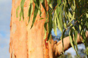 eucalyptus-feuilles