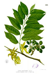 arbre-Ylang-Ylang-huile
