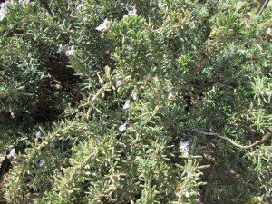 he-rosmarinus-verbenoniferum