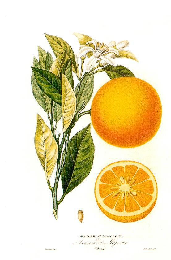 Cours 22 : Citrus sinensis He-orange-citrus-sinensis