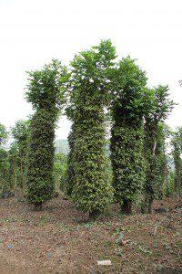 huile-essentielle-piper-nigrum