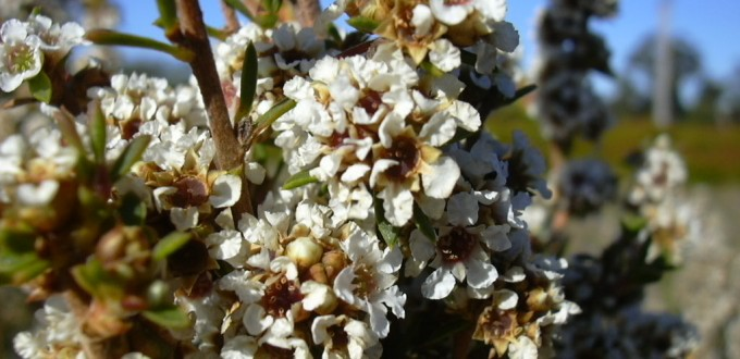 huile essentielle de fragonia