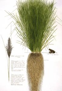 racines-de-vetiver