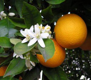 huile-essentielle-fleur-doranger