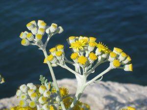 Helichrysum_italicum_(corsica)