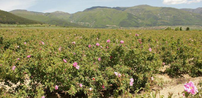 vallee rose bulgarie