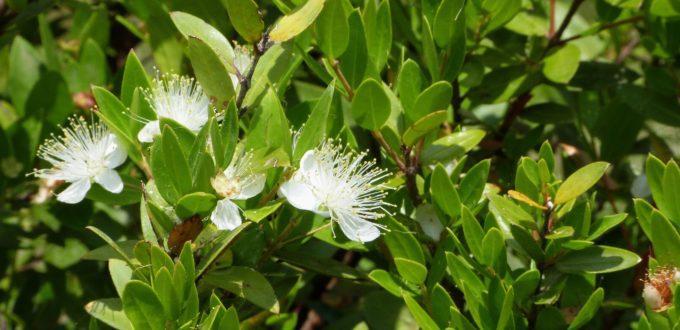 huile-essentielle-myrte-vert