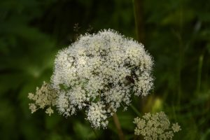 herbe-ange-huile-essentielle
